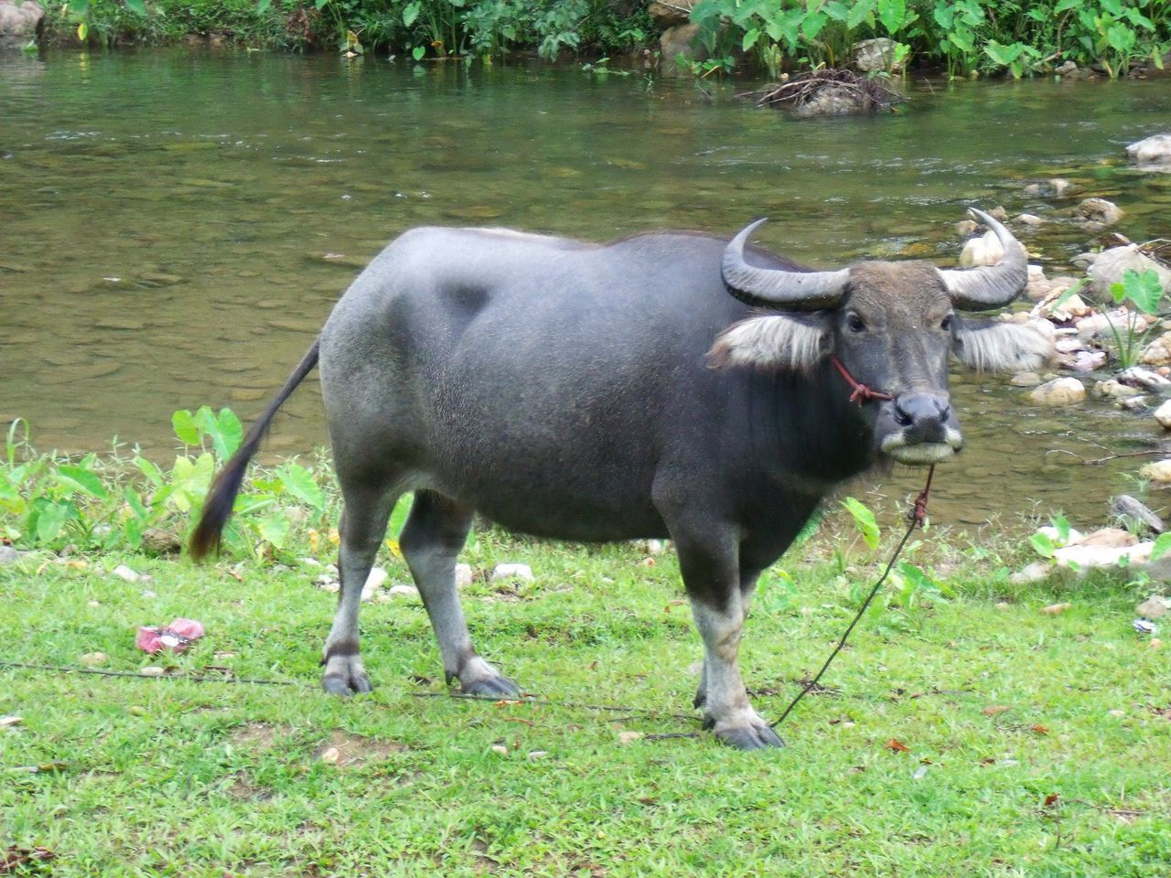 Black buffalo in nature Grass Domestic Animals Animal Themes One Animal Field Mammal Outdoors Nature Water Buffalo Bovine Garden