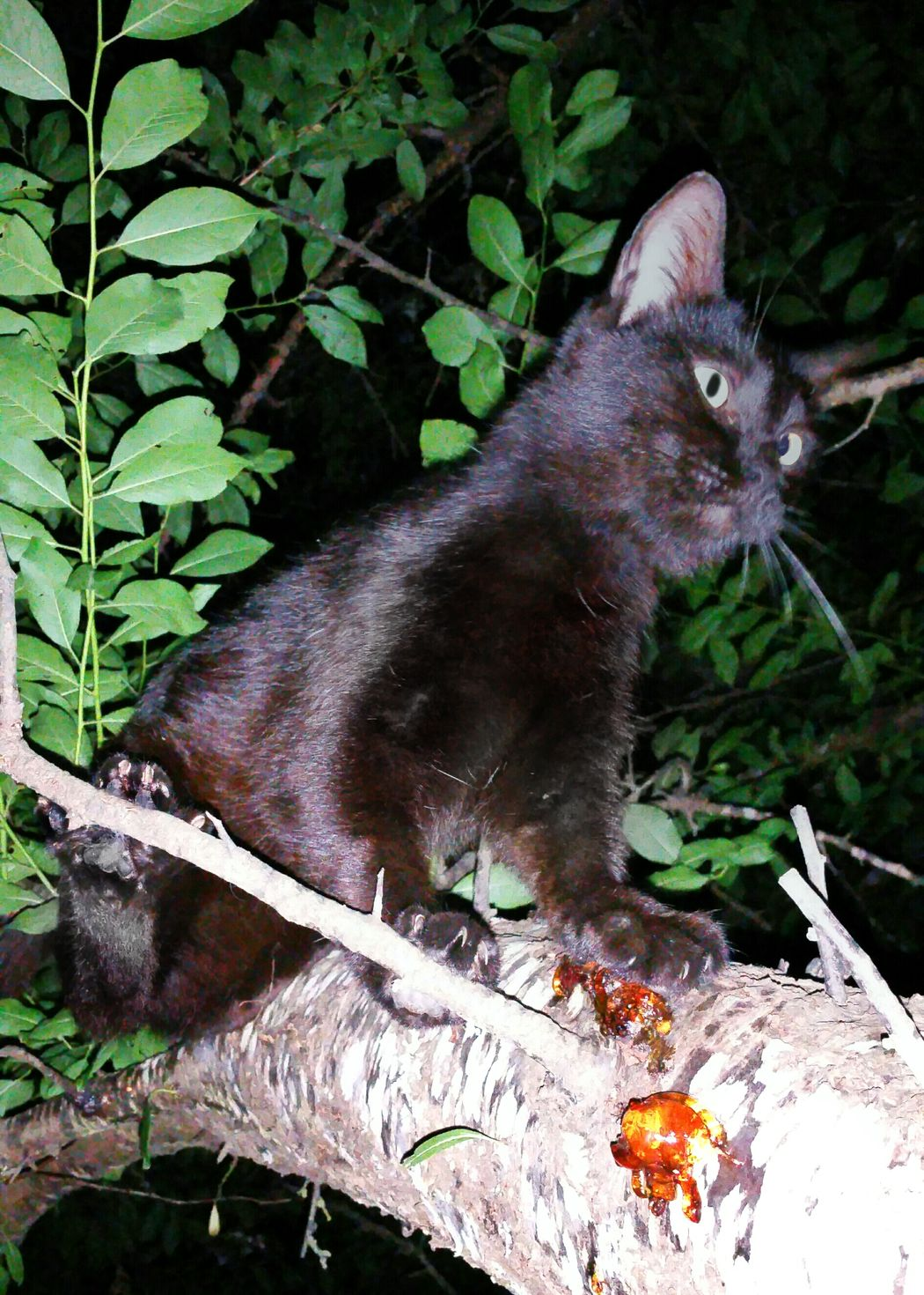 Cat Black Cat Cat In Tree Cat Climbing Animal Animal Photography Cats Of EyeEm Night Photography Cat Hunting  Nocturnal Feline Bad Luck? Do Not Cross It's Path Cat Lovers Animal Lovers Nature Photography Outdoor Photography
