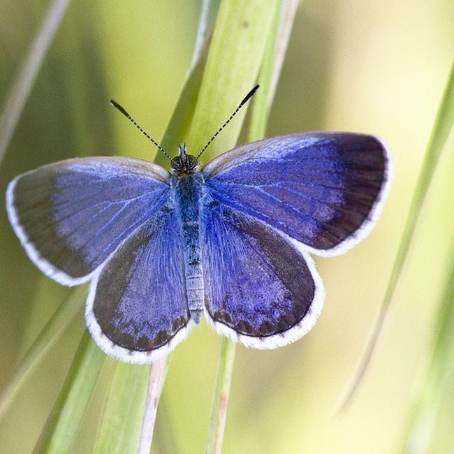 Hello beautiful. I know you've been through a series of hard stage untill what you become now. Thanks for the lesson, mate. Butterfly Blue Insect Animal Kupukupu Serangga Nature Macro Macrophotography
