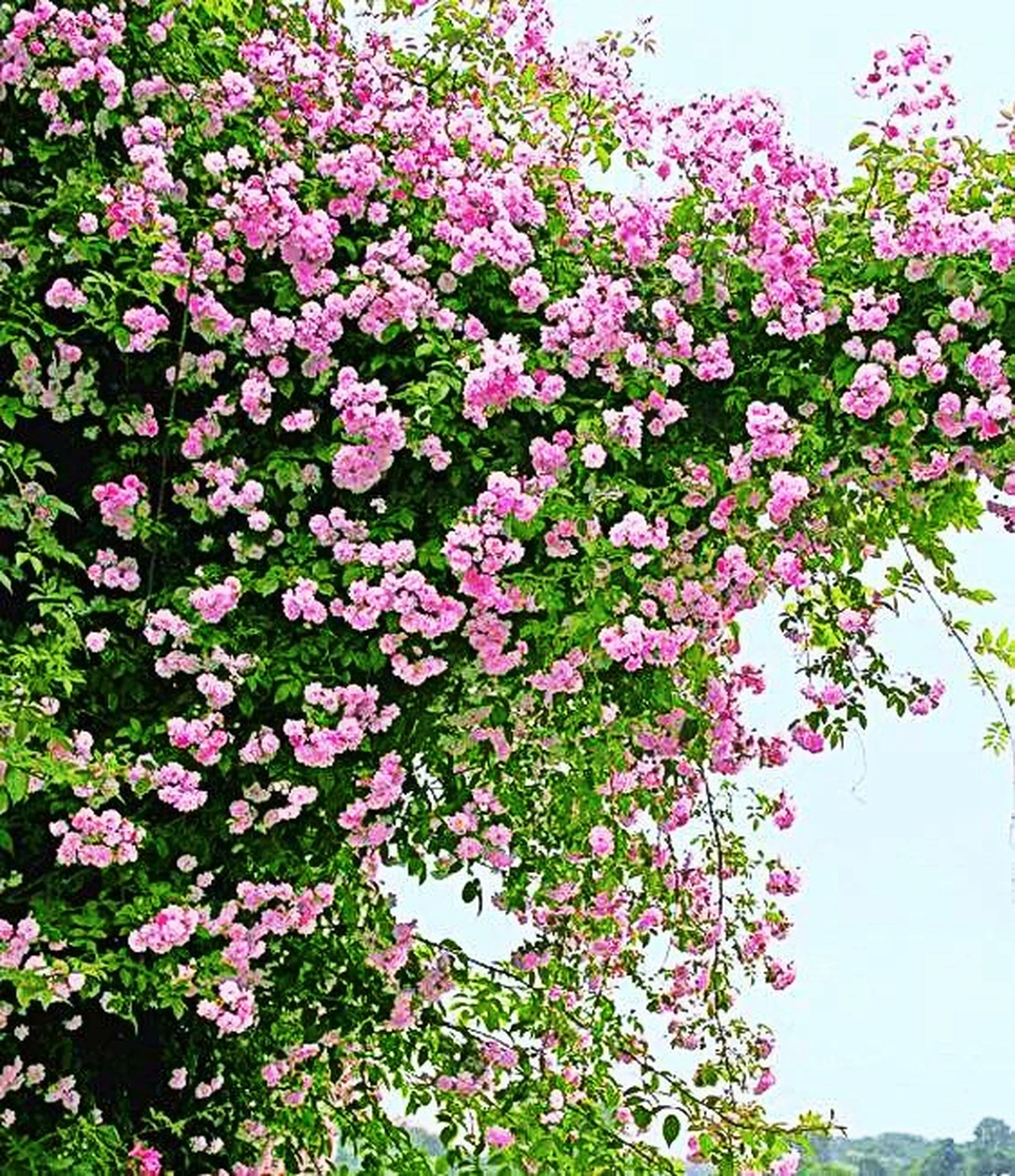 flower, freshness, growth, beauty in nature, fragility, nature, pink color, plant, blooming, tree, in bloom, low angle view, petal, blossom, day, leaf, clear sky, outdoors, no people, sunlight