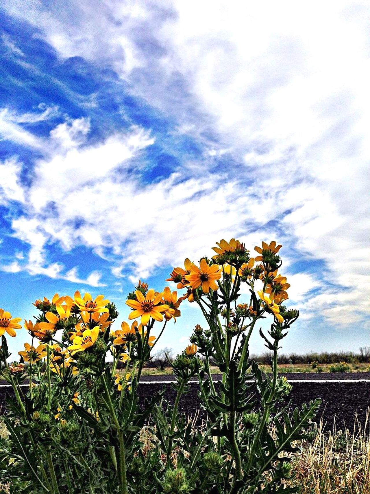 Flower Growth Nature Beauty In Nature Sky Cloud - Sky Fragility Texas Roadside Texas Landscape 3XSPUnity Spring Flowers Texas Wildflowers Field Petal Day No People Low Angle View Freshness Flower Head Outdoors Blooming Yellow Tranquility Close-up