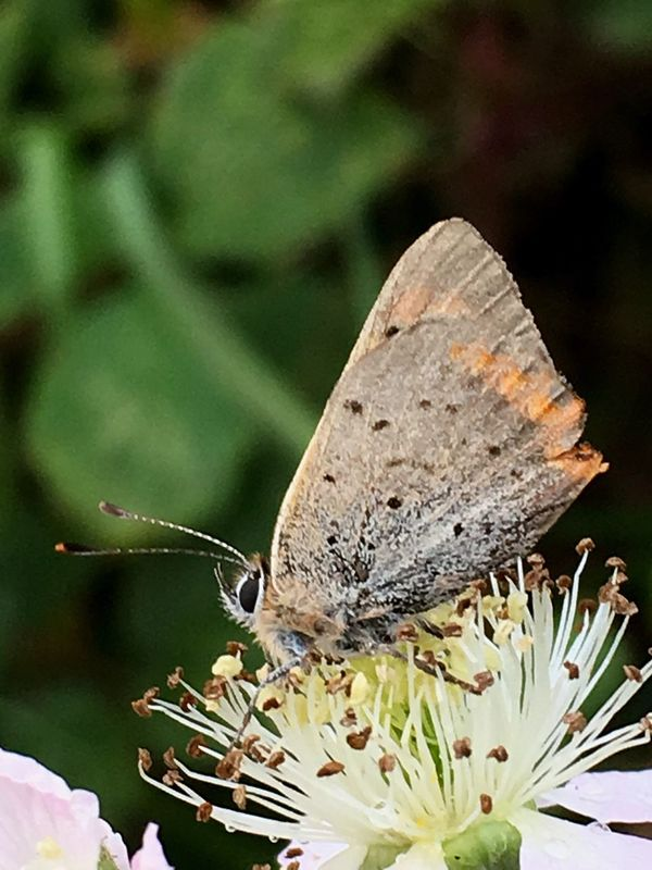 Small Copper Butterfly Insect Lepidoptera Entomology Blackberry Flower Brambles Close-up Nature Animal Themes Animals In The Wild Focus On Foreground Beauty In Nature No People Outdoors Day Flower Fragility Perching Pollination