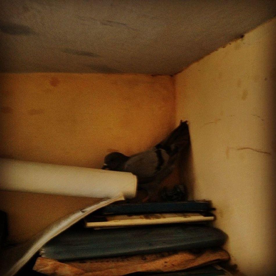 Kabootar ja ja ja Pigeon Stuck in Room not getting out Chandigarh instapic