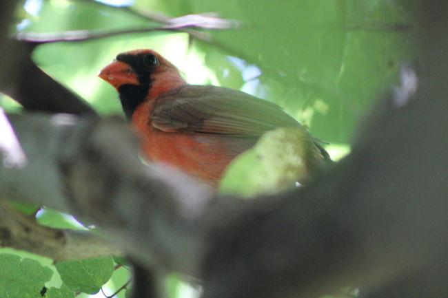 Animal Animal Themes Beauty In Nature Bird Eyemphotos Nature NoEditNoFilter Outdoors Perching Popular Photos Redbird Wildlife