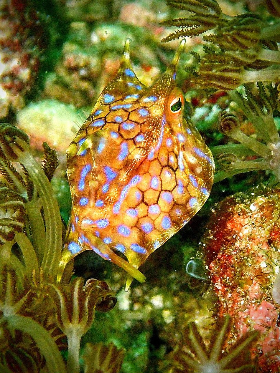 """Electric """"Longhorn Cowfish"""" 🐮🐠 Scuba Diving Underwater Diving Underwater Photography Dive Cowfish Rajaampat Komodo Sulawesi INDONESIA Indonesia_photography"""