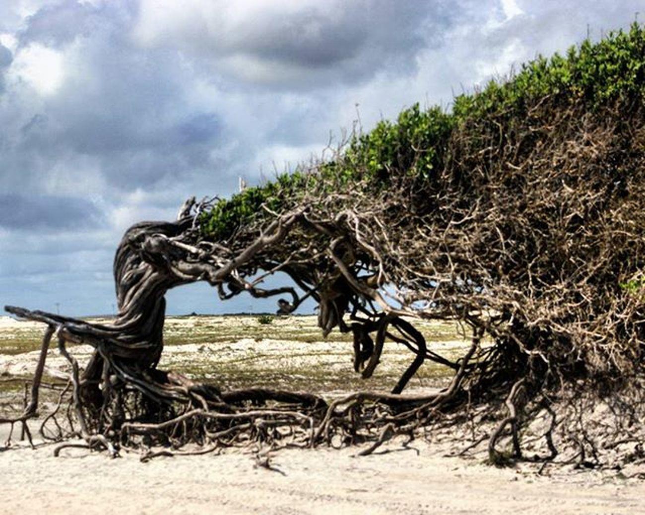 Árvore da Preguiça Vemprajeri Jericoacara Vemproceara Vemprajeri Paraíso Arvoredapreguiça Profissaoaventura Paraisoeaqui Arvore