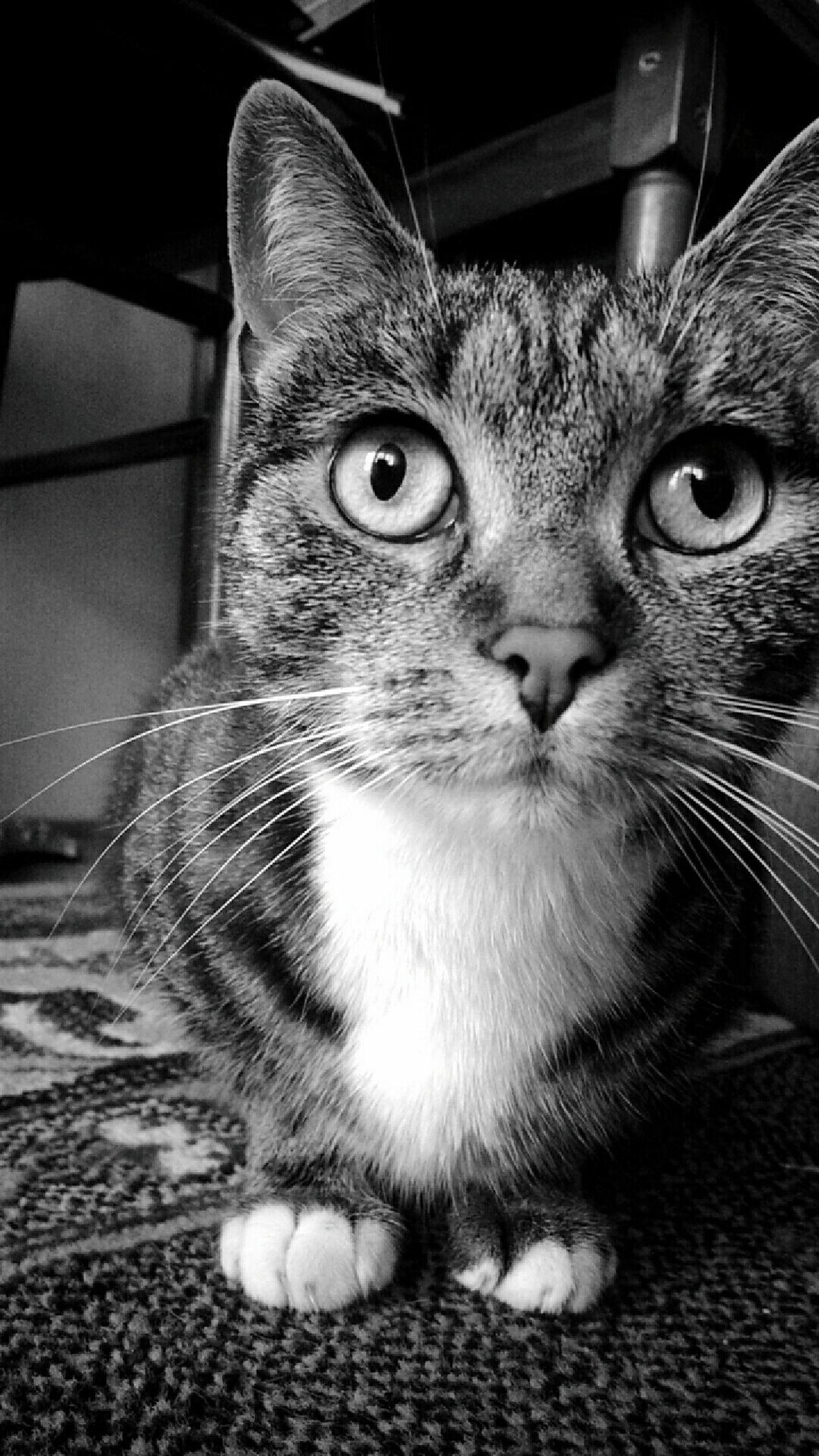 Moja słodka kotka 😸💕 Black And White Black And White Photography Cat Princess Cat Cateyes Cat Photography I Love My Pet Cats Of EyeEm Cat Eyes Cat Watching I Love My Cat EyeEm Gallery EyeEm Animal Eye Cat♡ Calypso