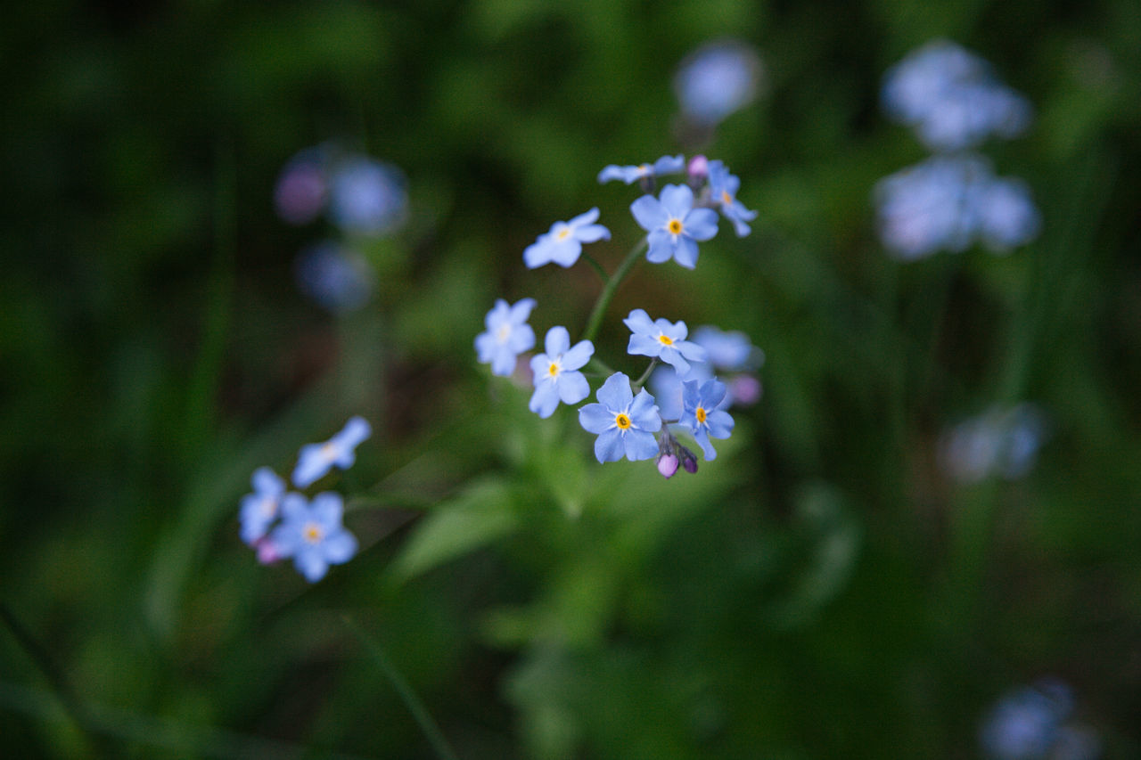 Beauty In Nature Blooming Close-up Day Flower Flower Head Forget Me Not Forget-me-not Fragility Freshness Macro Myosotis Nature No People Outdoors Periwinkle Spring Spring Flowers Springtime