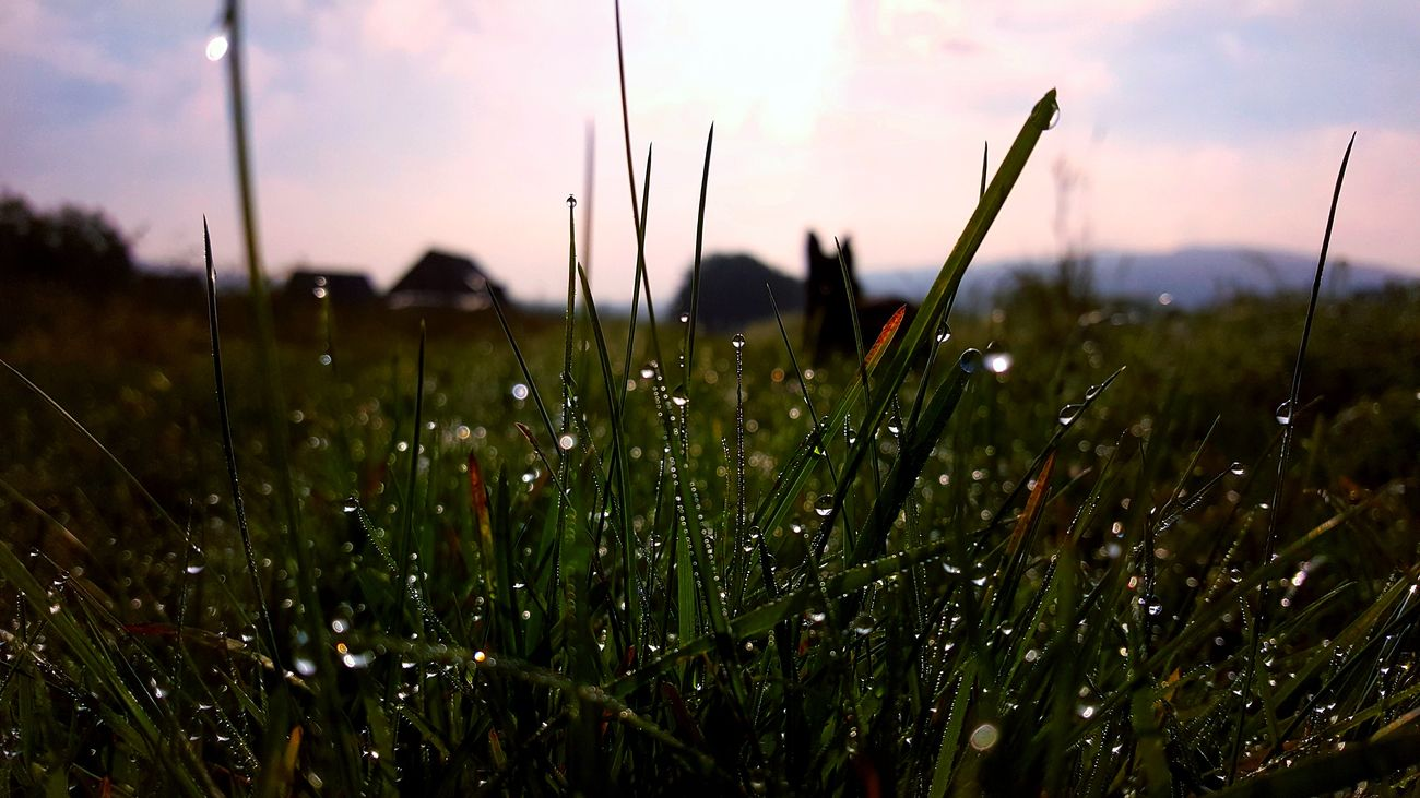 Beauty In Nature Close-up Day Dew Dog Field Grass Growth Morning Nature No People Outdoors Plant Sky Summertime