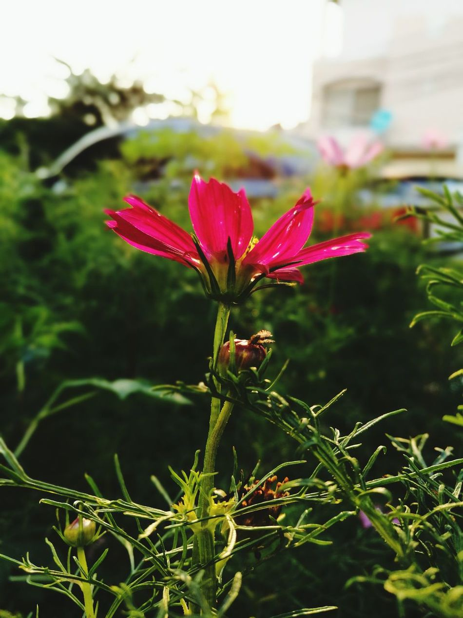 Good morning and Happy Chinese New Year 2017 Chinese New Year CNY2017 Cosmos Flower Flowery Nature Plants 🌱 Thailand🇹🇭