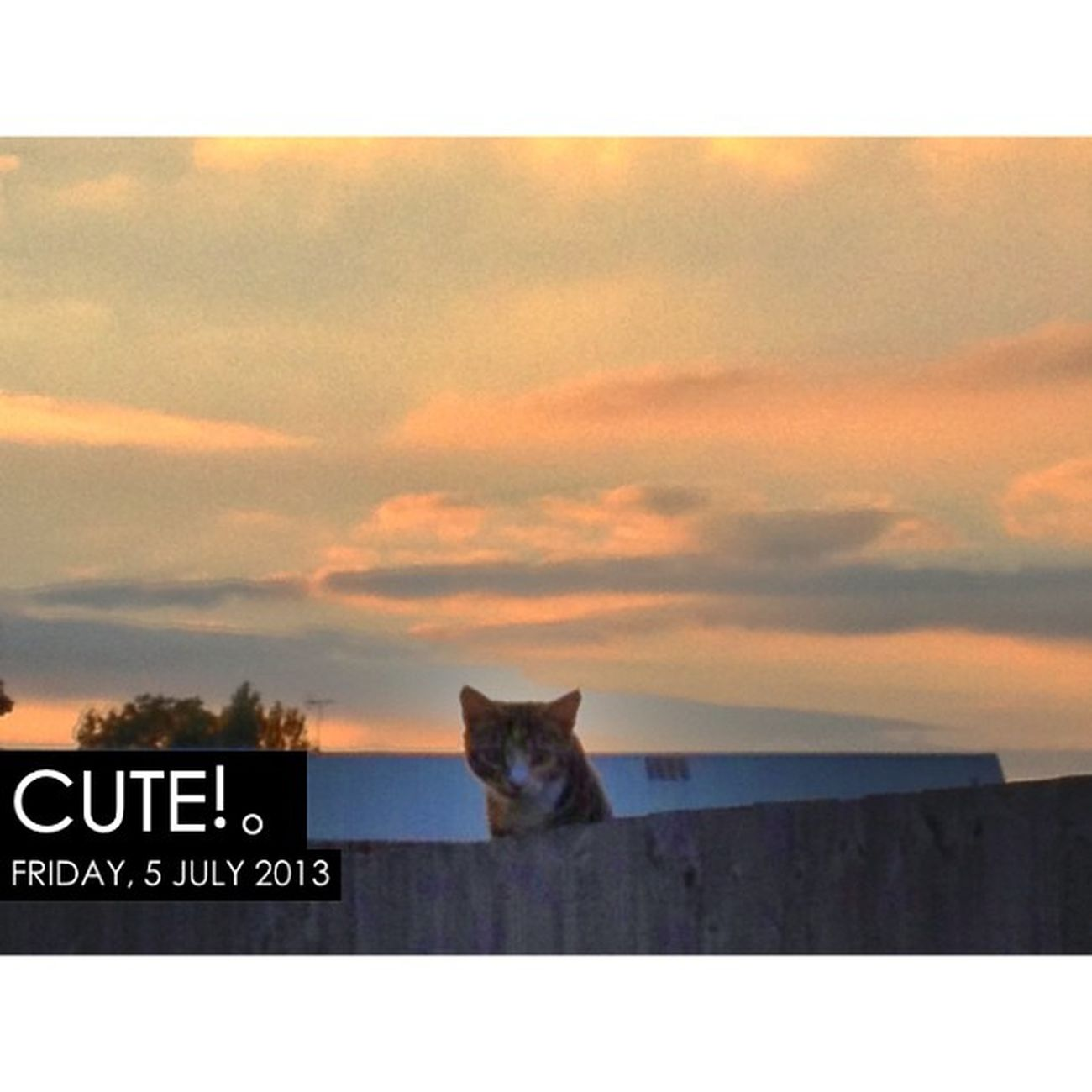 Photooftheday InstaCC Instaccpopd6 Cute K8marieuk Suttoninashfield Nottinghamshire Sunset Petsofig Cats Catsofig Petsofinstagram Catsofinstagram Crazycatlady Peeping Peep Peepbo Watching Fence Skypainters Skysnappers Cloudporn Tabby TabbyCat Tabbysofinstagram photo365