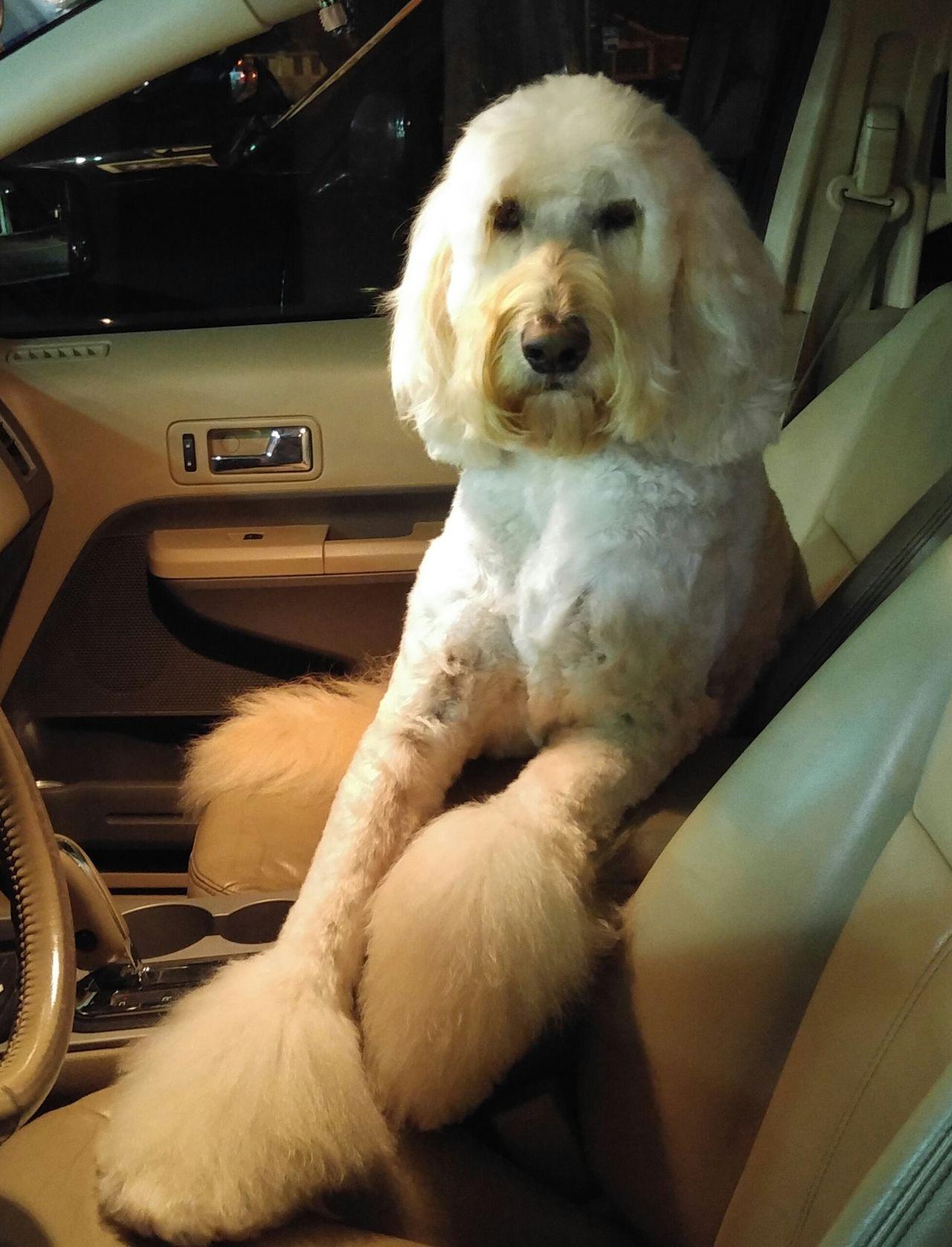 Q QUINTESSENTIAL RIDE QUEENDOM Goldendoodle Dogslife Joyride Flufflepuff Dogs Of EyeEm My Girl ❤ Smartphonephotography Animal Photography Dog❤ Automobile Car Rides W/ My Bff