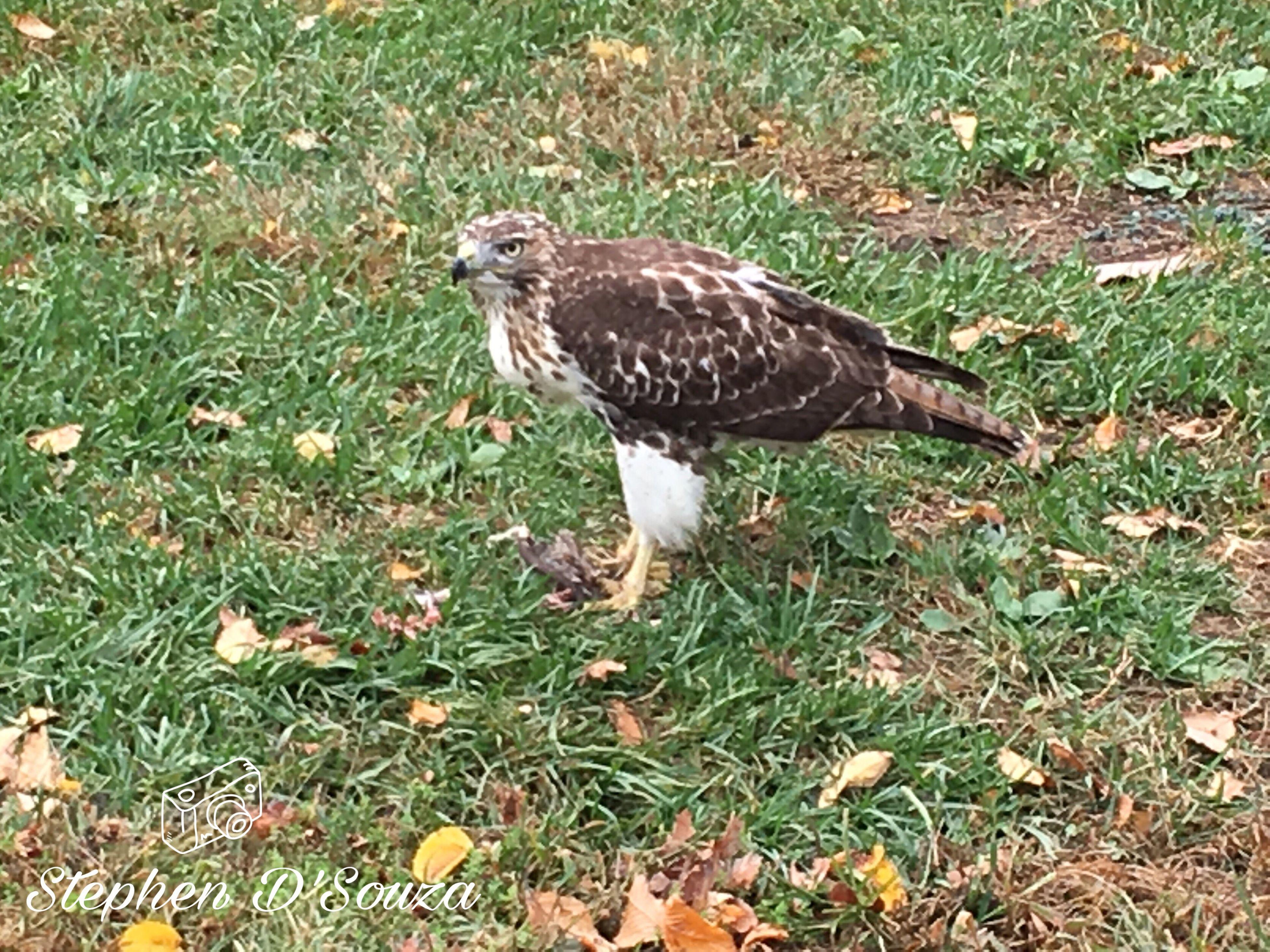 bird, bird of prey, animal themes, grass, one animal, field, nature, no people, animal wildlife, animals in the wild, outdoors, day, hawk, close-up
