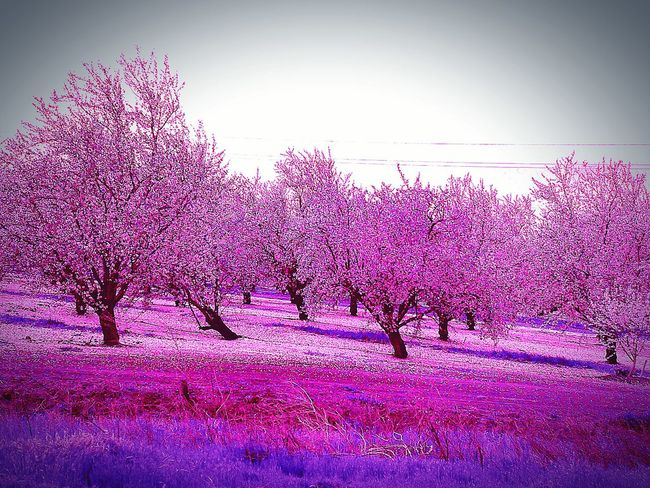 Purple ♥ Purple Color Pink Color Trees And Leaves Leaves🌿 Check This Out Edited By Me Pink Leaves Trees And Flowers Landscape #Nature #photography Freeway Scenery Tree Flowers EyeEm Nature Lover Trees And Nature Rows Of Trees Flowering Trees My Point Of View Trees Trees Are Beautiful My Photography Tree Porn Highway Photography Grass