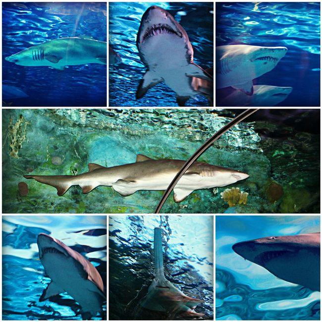 Proffesional Photographer Photography Nature Sharkweek Savesharks RipleysAquarium Myrtle Beach SC Deepsea Sharkteeth