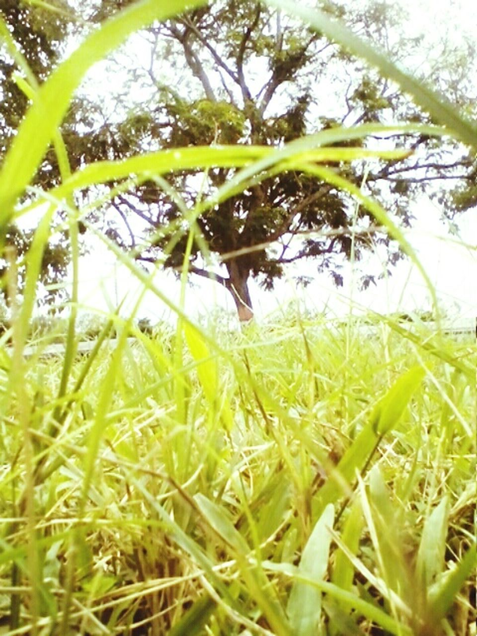 growth, nature, grass, field, beauty in nature, day, green color, tranquility, outdoors, plant, no people, agriculture, tree, close-up, freshness, sky