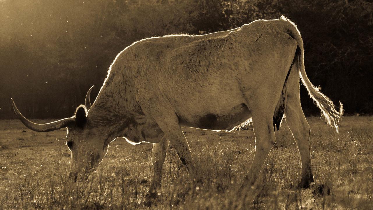 Back Lit Black & White Black And White Cattle Cows Longhorn Longhorns Sunset Texas Texas Landscape