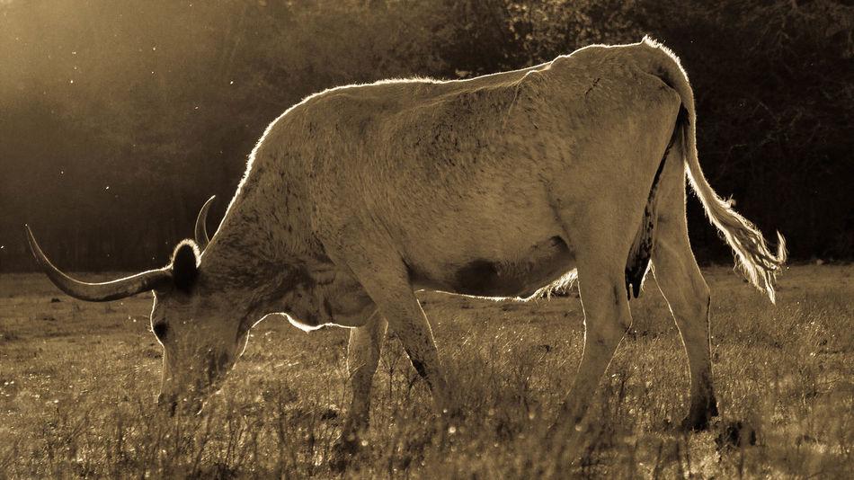 Beautiful stock photos of texas,  Animal Themes,  Day,  Domestic Animals,  Field