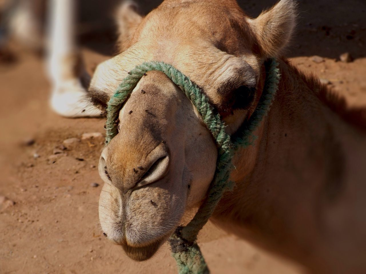 Beautiful stock photos of camel, Animal Themes, Camel, Close-Up, Day