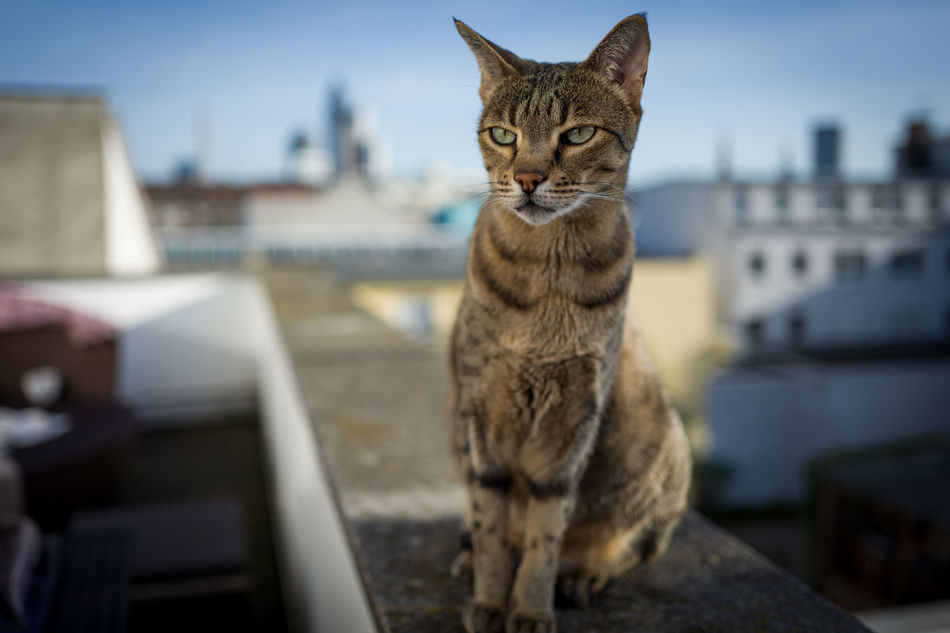 Wanda on the balcony, Frankfurt Skyline behind her Animal Animal Themes Architecture Cat Day Domestic Animals Domestic Cat Feline Frankfurt Looking At Camera Mammal No People One Animal Outdoors Pets Roof Savannah Sitting Skyline Spring Tabby Tabby Cat Watching