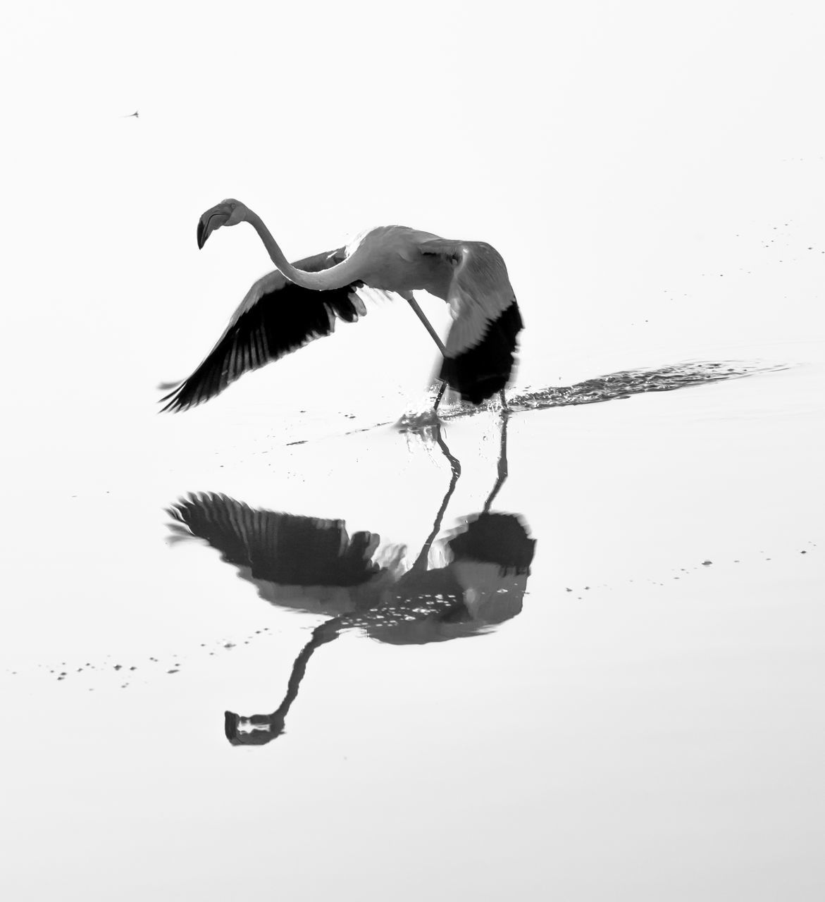 animal themes, one animal, animals in the wild, bird, animal wildlife, reflection, full length, nature, water, outdoors, clear sky, no people, day, spread wings, sky