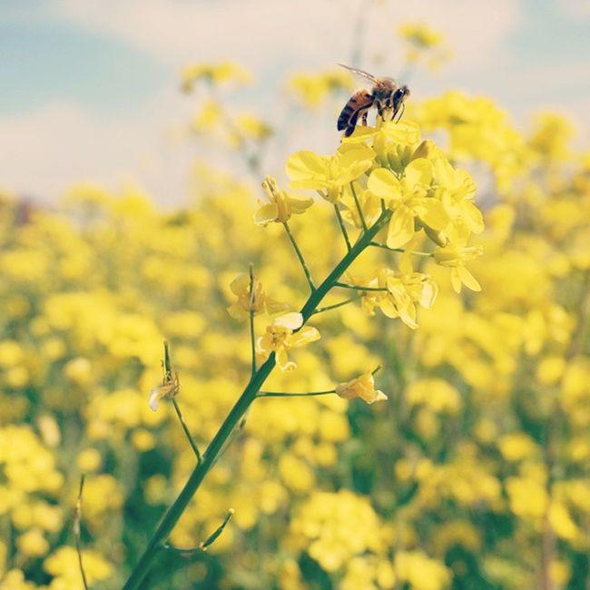 ハチさん来たー (*¯︶¯*)♡ Springhascome Nature 菜の花 Spring 春の花 Bee