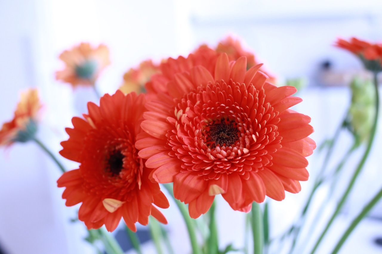 Flower Fragility Petal Nature Beauty In Nature Freshness Flower Head Focus On Foreground Growth Close-up Red No People Blooming Plant Day Outdoors Gerbera Daisy Dahlia