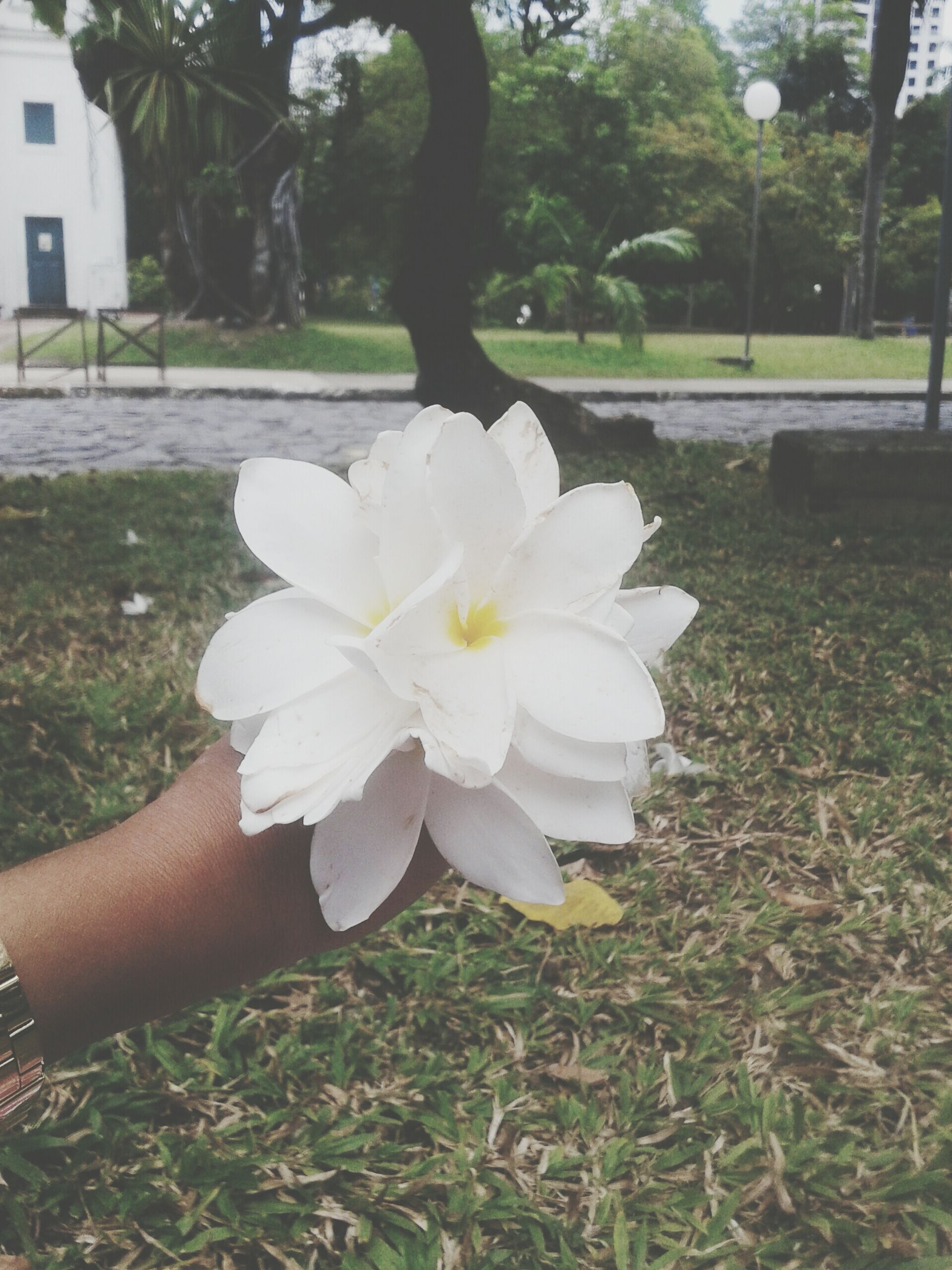 flower, person, white color, petal, holding, flower head, fragility, freshness, single flower, part of, focus on foreground, growth, tree, unrecognizable person, park - man made space, cropped, white
