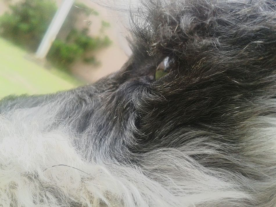 1235 ♥ Theloveofmylife Dogs Of EyeEm One Animal Snauzer
