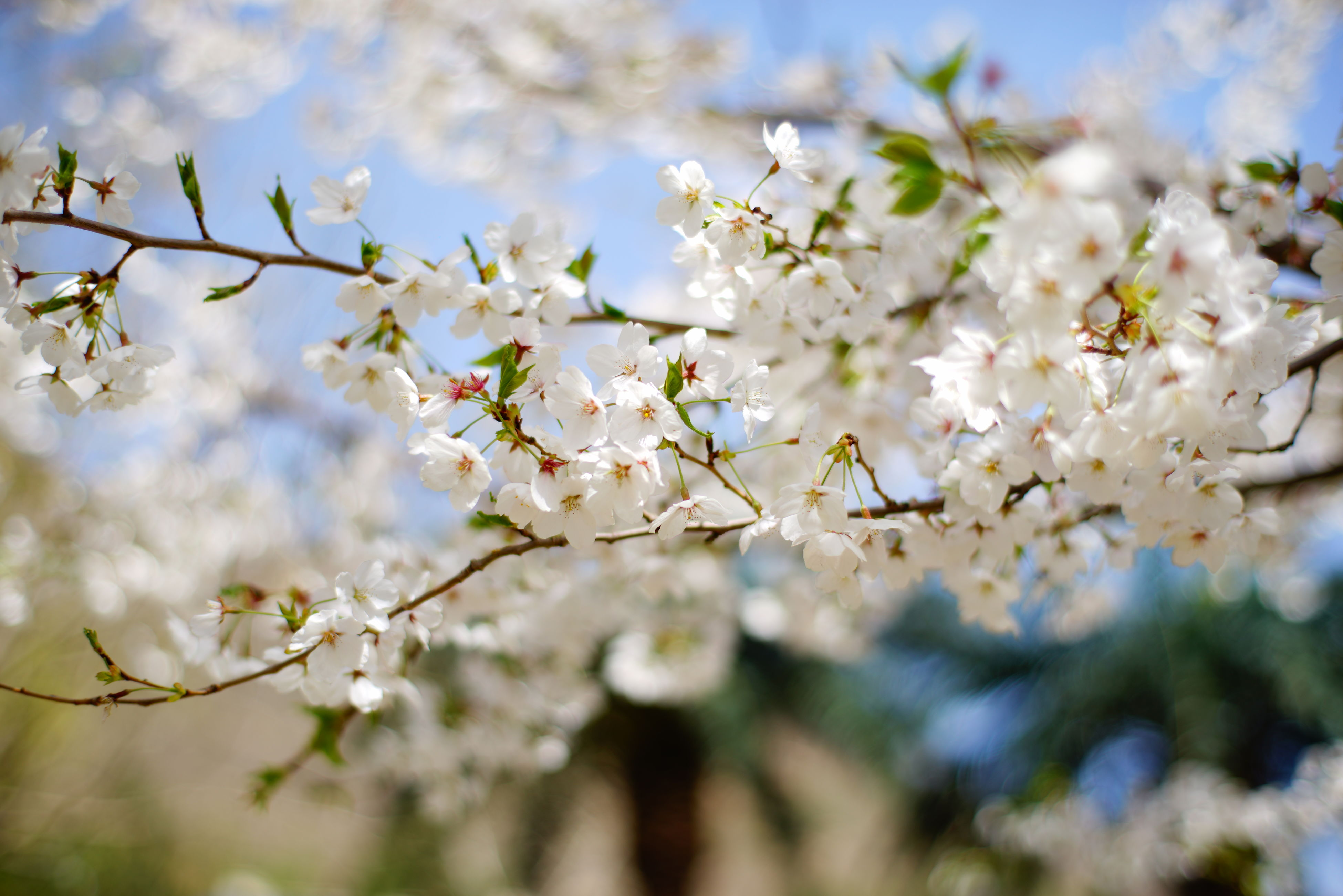 flower, freshness, growth, fragility, white color, cherry blossom, branch, tree, beauty in nature, blossom, nature, cherry tree, petal, apple blossom, focus on foreground, in bloom, apple tree, blooming, springtime, close-up