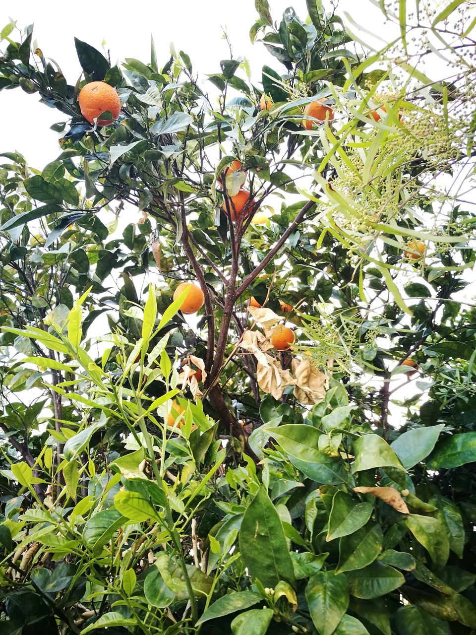 fruit, growth, leaf, tree, orange color, day, no people, nature, low angle view, orange tree, outdoors, food and drink, freshness, food, green color, beauty in nature, branch, flower, close-up