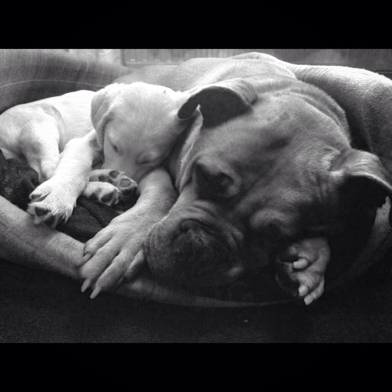 Dog Pets Animal Themes Domestic Animals Sleeping Indoors  Tired No People Lying Down Close-up Blackandwhite Photography Black & White Little Large Labrador Collie Puppy Bullmastiff Doguedebordeaux Beautiful Love Hooch Missyousomuch
