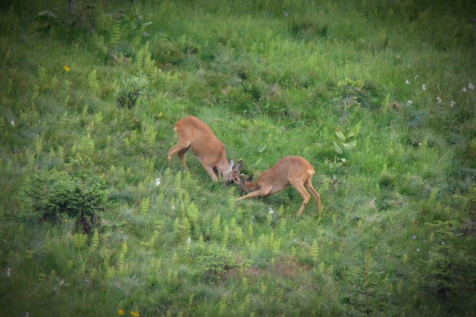 Grass Animal Themes Animals In The Wild Nature Green Color No People Beauty In Nature EyeEm Best Shots EyeEmBestPics Wildlife Wildlife & Nature Wilderness Roebuck Animal Wildlife Photography Nature Beutiful Nature Beauty In Nature Animal Wildlife Animals In The Wild Roe Deer