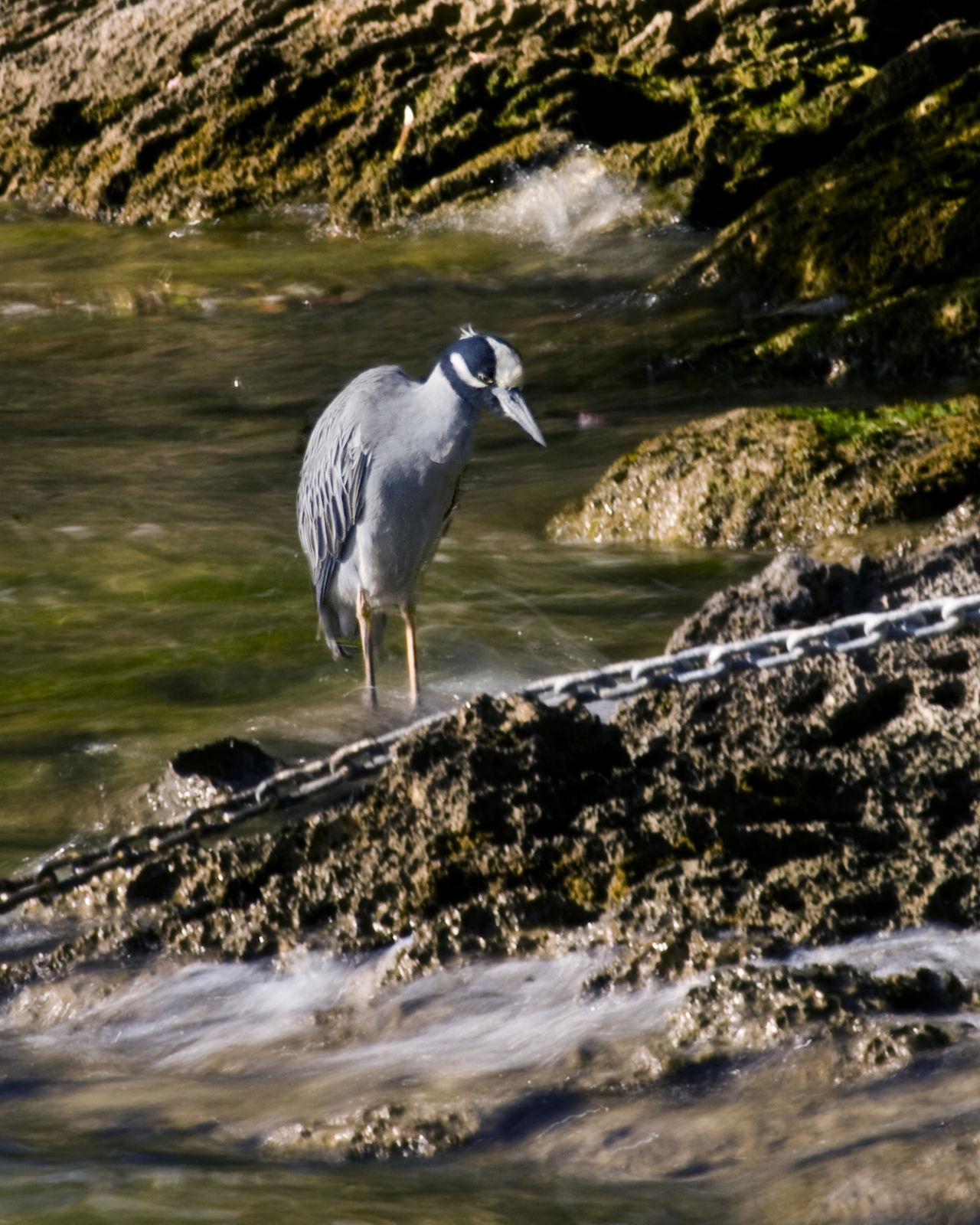 Animal Themes Animal Wildlife Animals In The Wild Bird Blue Heron Chain Day Heron Nature No People One Animal Outdoors Rocks Water