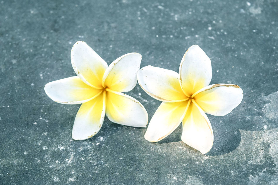 Beauty In Nature Close-up Day Flower Flower Head Fragility Frangipani Freshness No People Outdoors