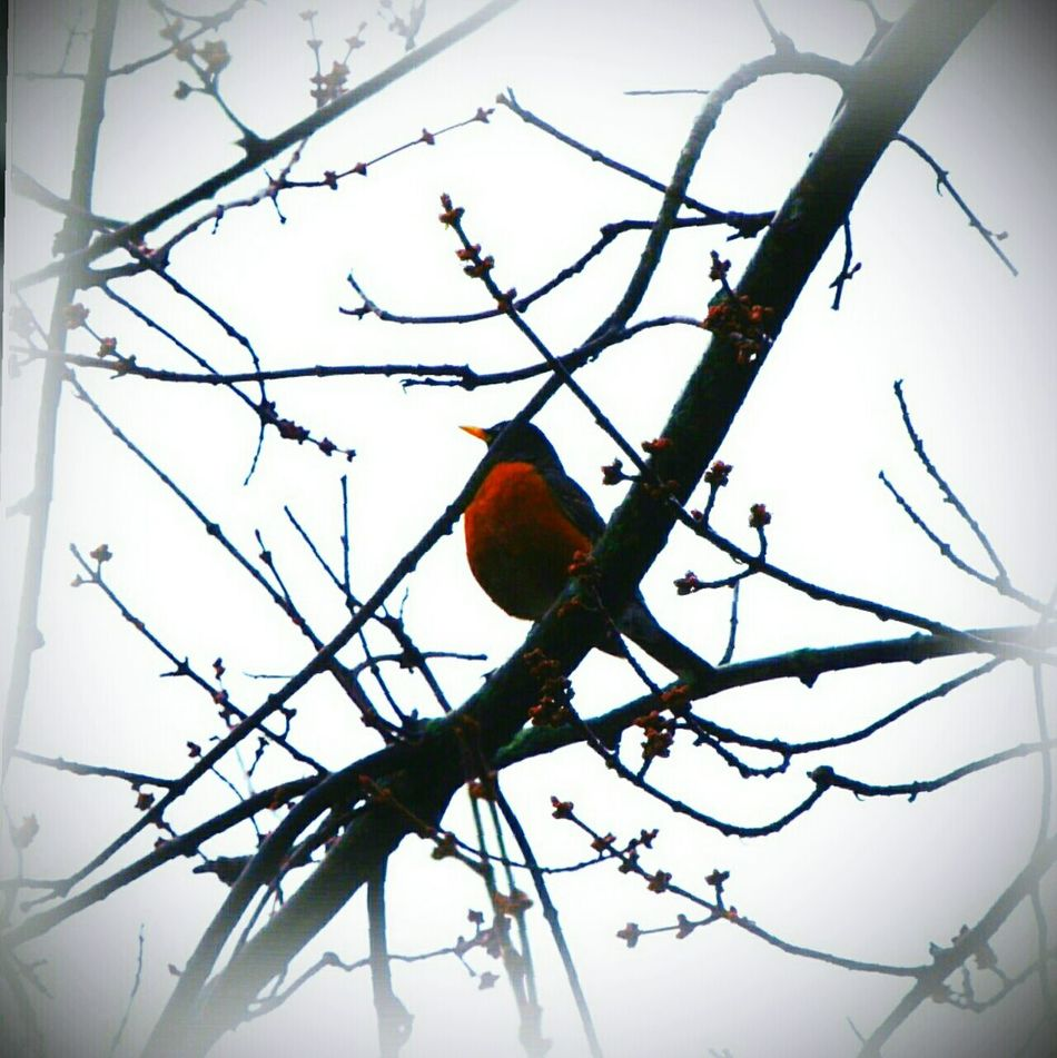 Signs of Spring Bird Perching Branch No People Low Angle View Nature Animal Themes Beauty In Nature Outdoors Tree Sky Day EyeEm Best Shots - Nature EyeEm Gallery EyeEm Nature Lover Weather Photography Tranquility Beauty In Nature Wildlife_perfection Backgrounds Outdoor Photography Spring Photography Bird Photography Birds Of EyeEm  Birds_collection