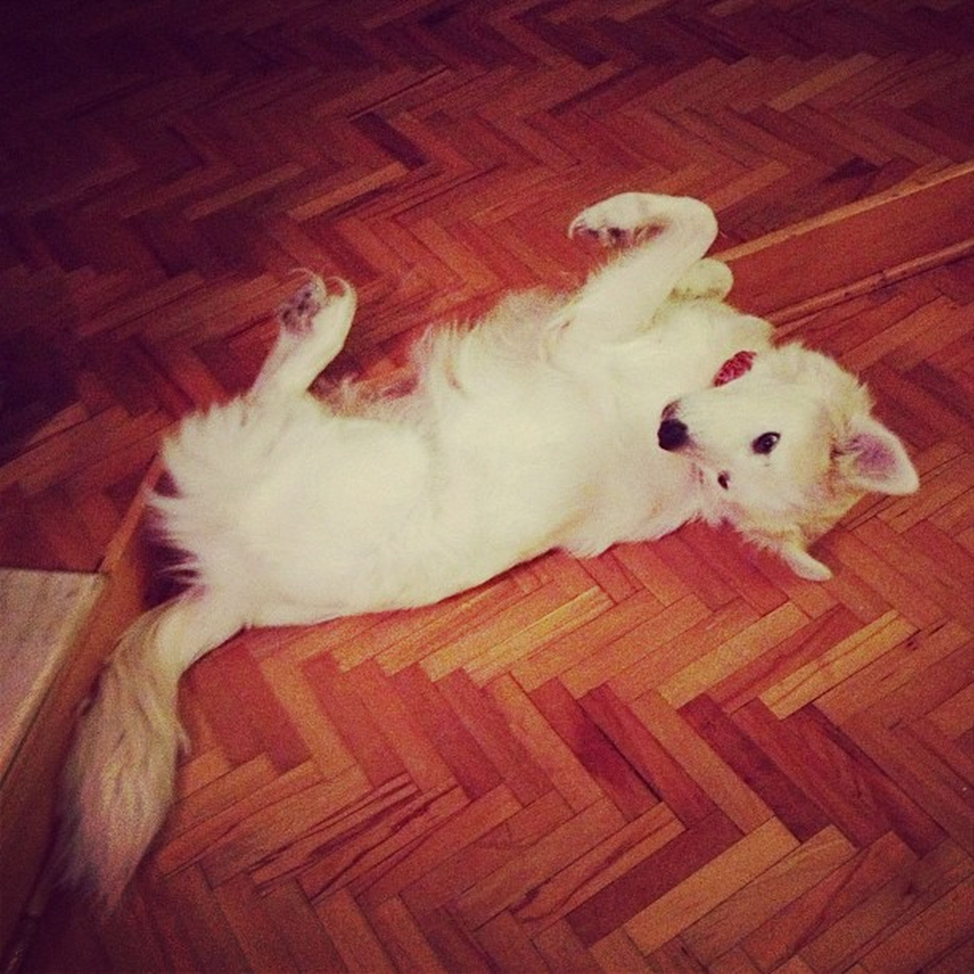 domestic animals, pets, animal themes, mammal, indoors, one animal, domestic cat, relaxation, cat, lying down, resting, high angle view, feline, white color, sleeping, home interior, two animals, looking at camera, portrait, flooring