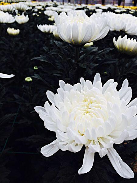 嵩明小街菊花展,好漂亮! Nice Flowerporn Flower Flowers Beautiful ♥