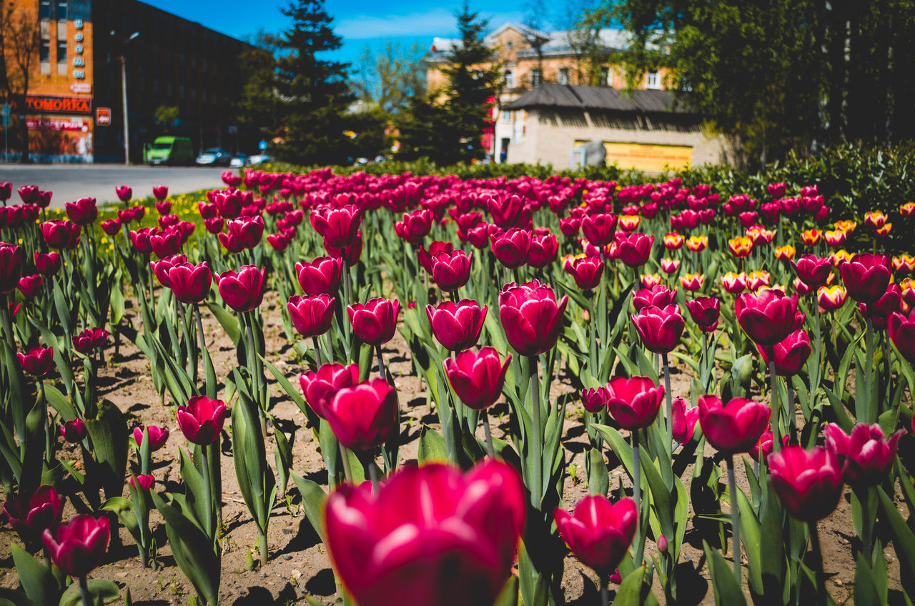 Architecture Beauty In Nature City Flower Flower Head Nature Petal Pink Pskov Red Rural Scene Russia Springtime Stem