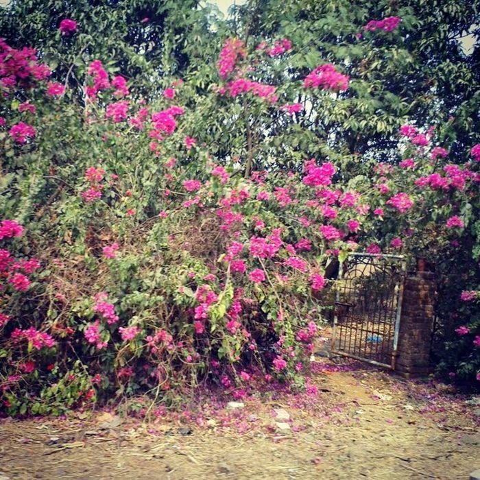 😚 Flowers 💐 Flower Oldgarden Garden Beautiful Pink Pinkflower Plants Trees Plant Tree 🎄 Gate Green Greenery