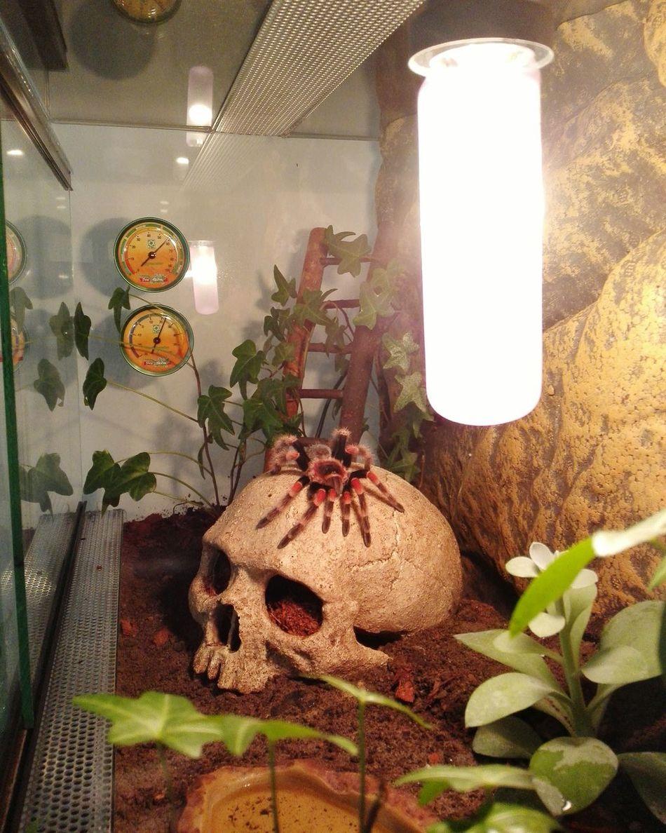 Nach ihrer gestrigen Häutung Spinne Marie - Brachypelma Smithi Vogelspinne Brachypelma Tarantula