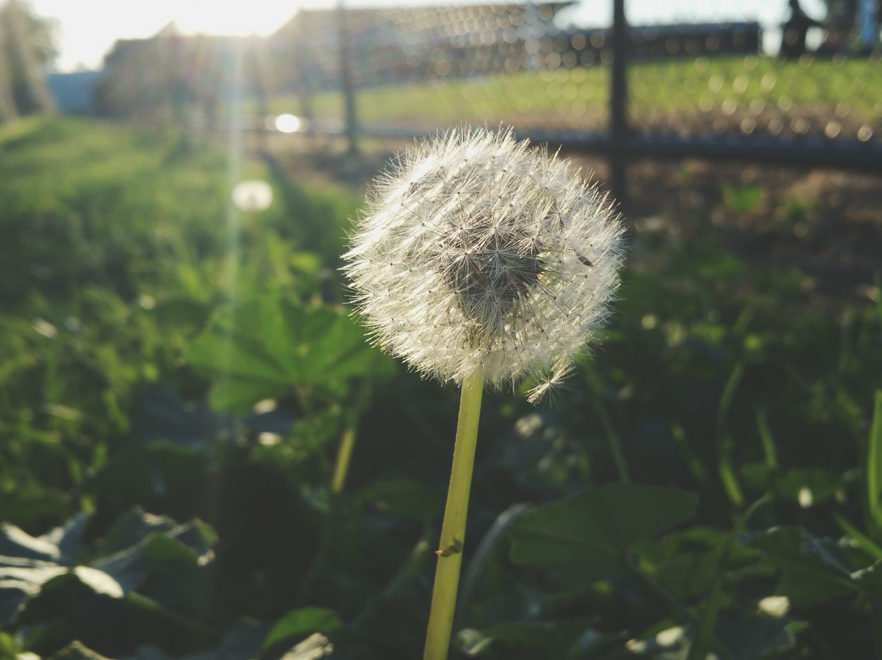 Nature Growth Plant Outdoors Day Focus On Foreground Close-up Flower Beauty In Nature Fragility No People Freshness Thistle Sky Flower Head