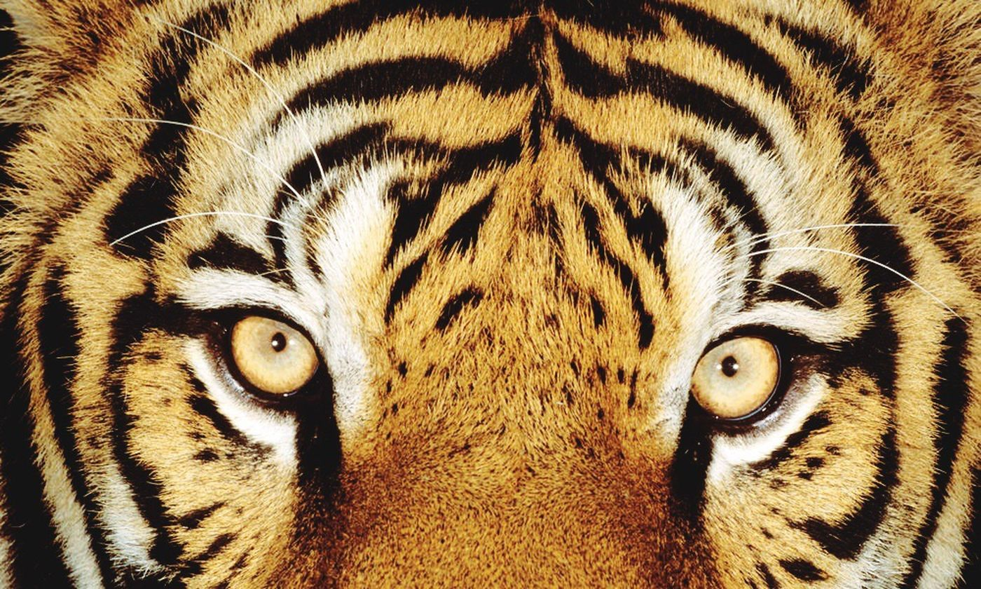 Look in these eyes and ask yourself does a tiger think, think, and think before acting?? Animals Animals In The Wild Tigers Eyes Eyes Are Soul Reflection Strength Self Assured Powerful Feelings Power In Nature Life Proud Self Love No Games  Growing Believe
