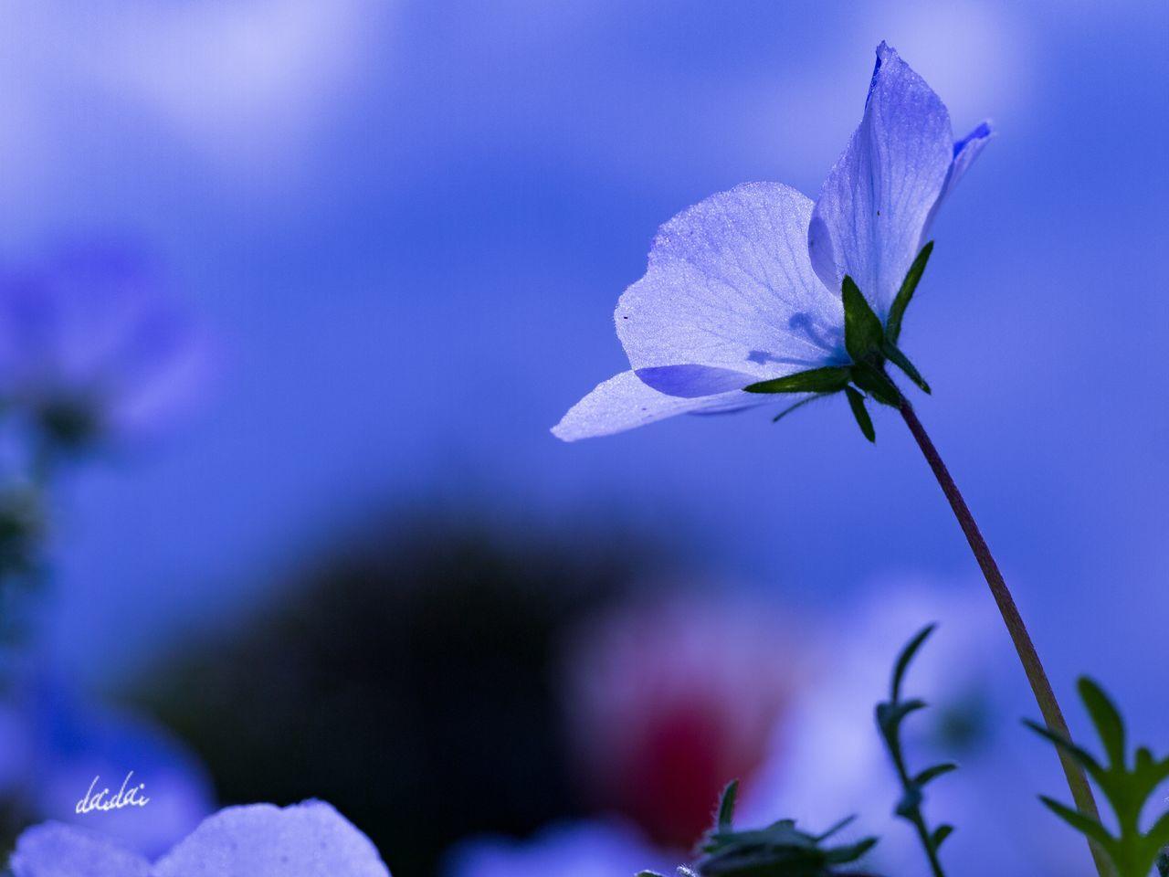 あの青をこえて E-PL3 フルサイズの一眼が欲しくなってきたよ。。。 RAW 編集 海の中道海浜公園 Bokeh 花 Flower ネモフィラ 瑠璃唐草 Beauty In Nature Fukuokadeeps Baby Blue Eyes 逆光部