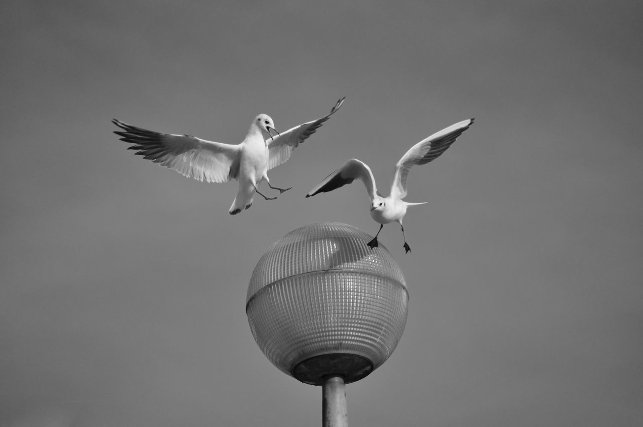 Power's Rixe Animal Themes Animal Wildlife Animals In The Wild Bird Black & White Black And White Black And White Collection  Black And White Photography Black&white Blackandwhite Blackandwhite Photography Blackandwhitephotography Flying Seagull SEAGULL IN FLIGHT Seagulls Spread Wings Birds Bird Photography Animals Animal Animal Photography