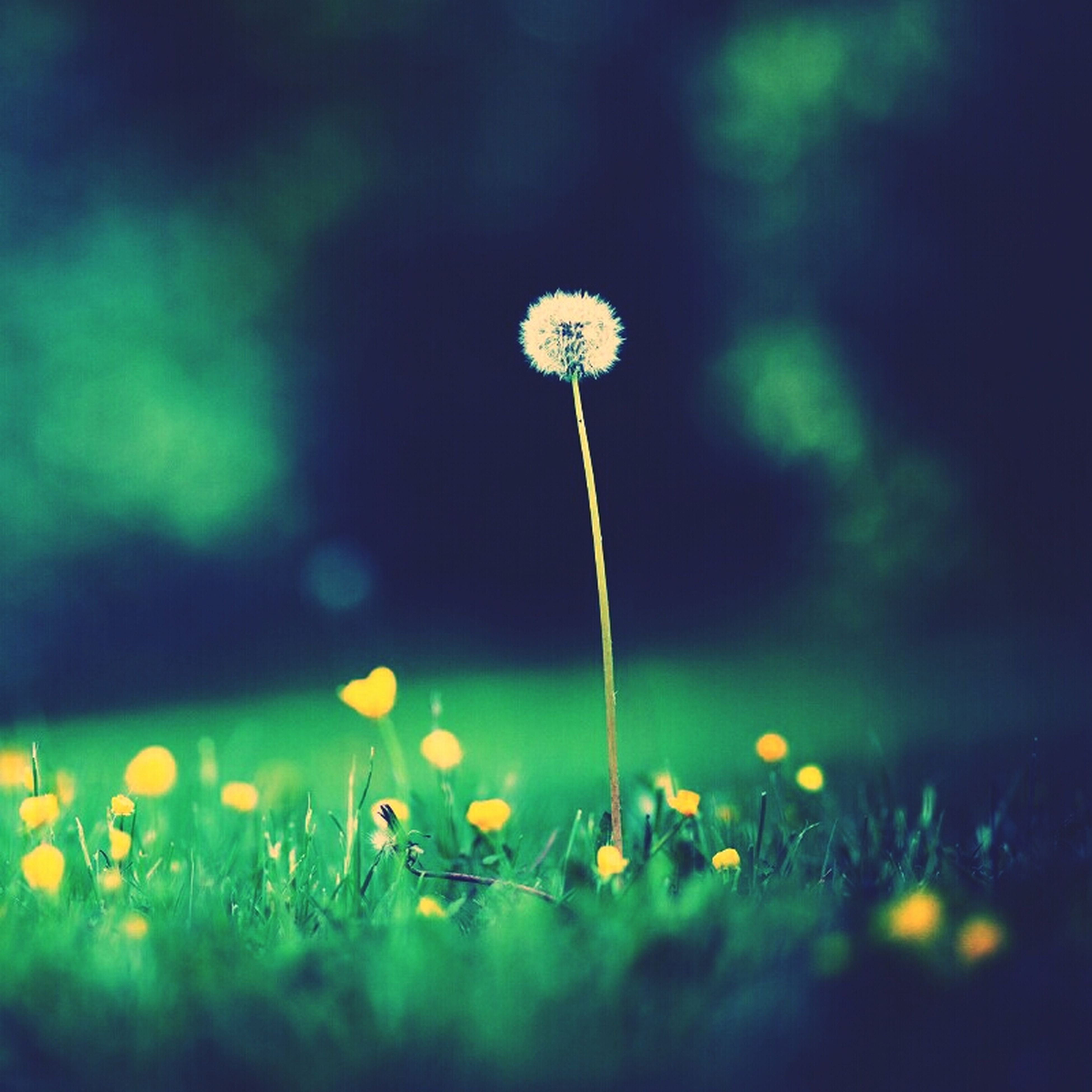 flower, fragility, freshness, growth, stem, dandelion, beauty in nature, focus on foreground, field, flower head, wildflower, plant, nature, blooming, selective focus, close-up, uncultivated, in bloom, petal, outdoors
