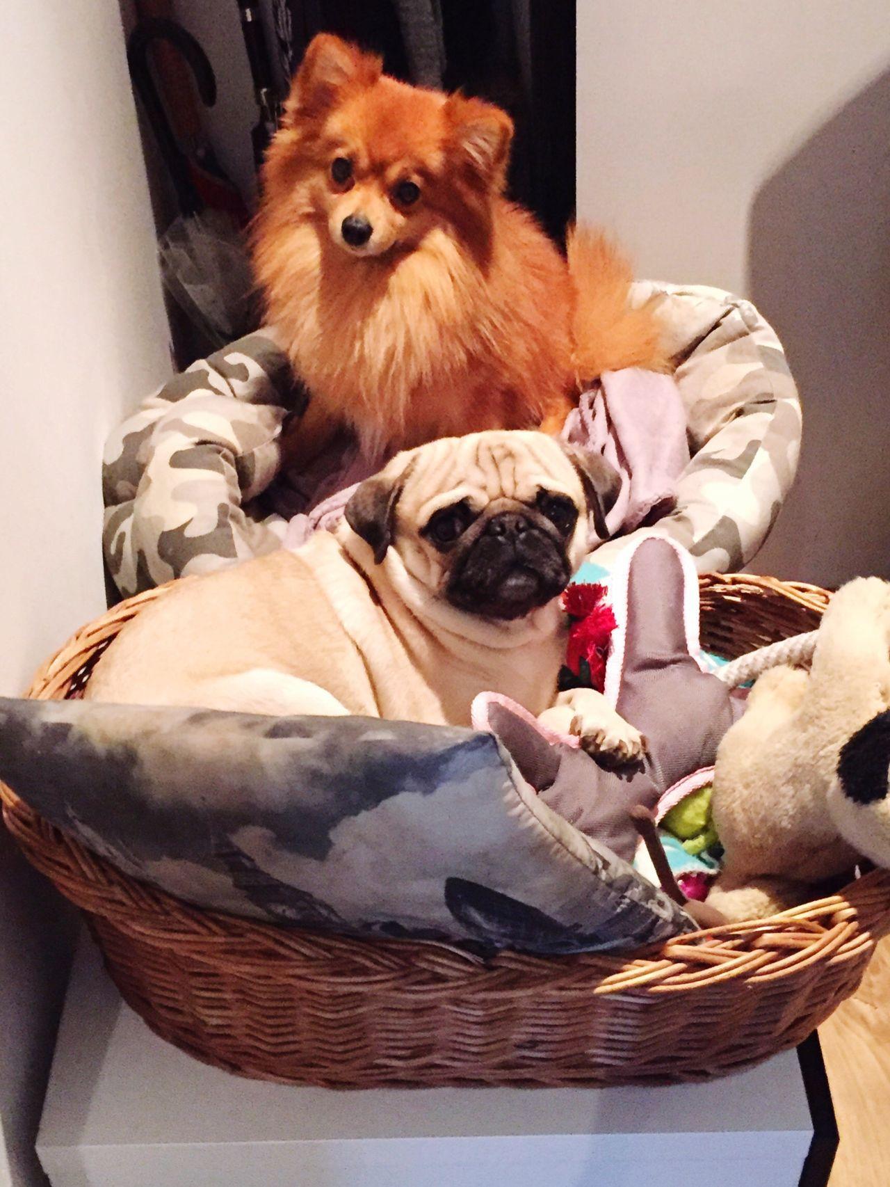 CocoRico Pug Life  Pets Zwergspitz Friends Chilling Pug Love Mopsfamilie First Eyeem Photo