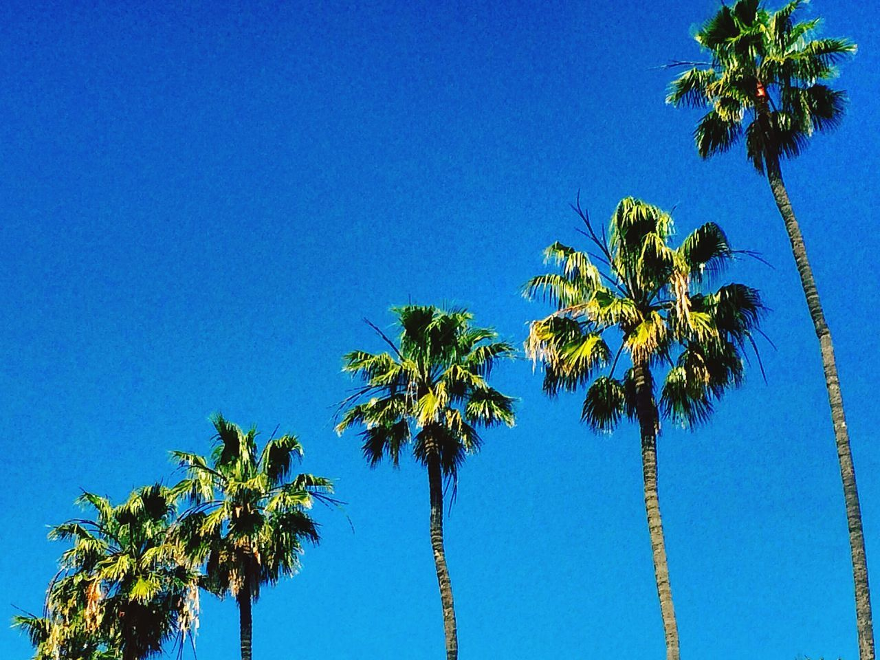 palm tree, tree, blue, clear sky, growth, low angle view, beauty in nature, nature, tree trunk, copy space, day, no people, scenics, tranquility, outdoors, sky