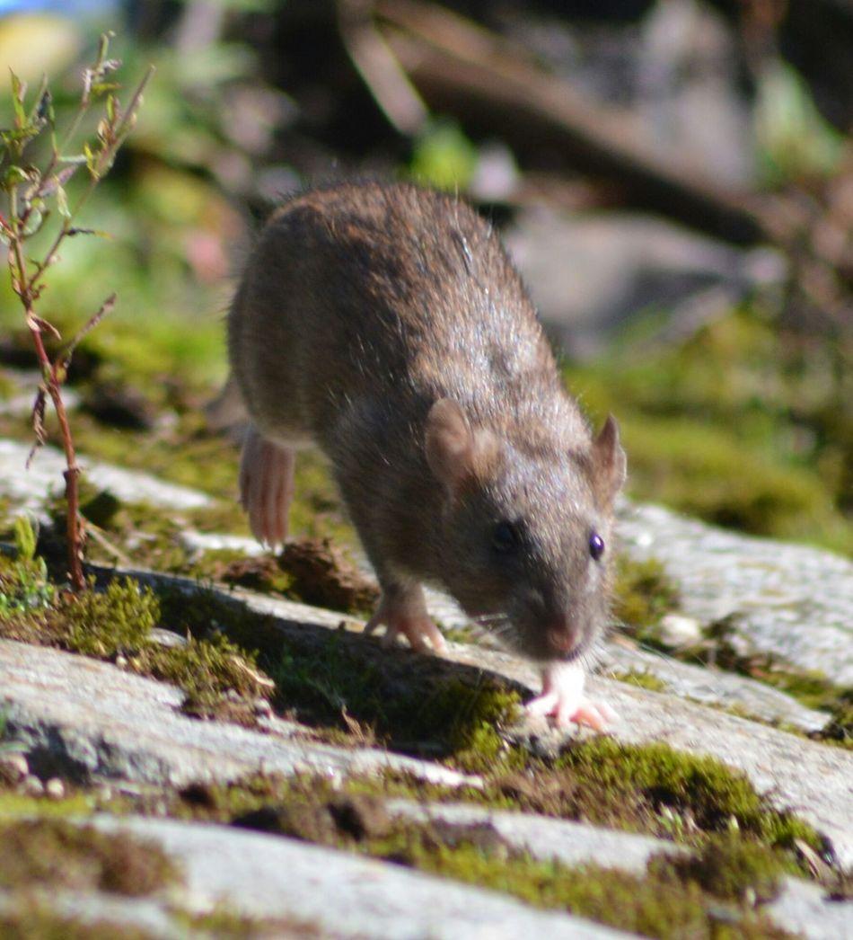 Beautiful stock photos of mouse, Adult Animal, Animal, Animal Behavior, Animal Hair