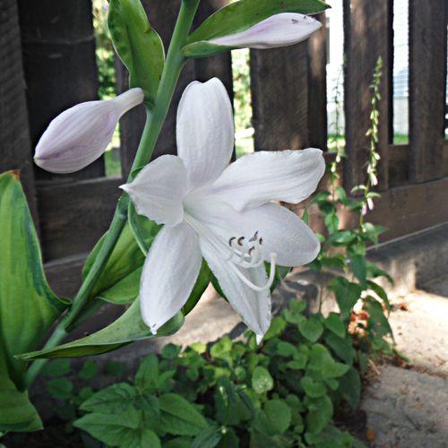 Guacamole Hosta blossom First Eyeem Photo Flowers Flower